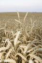 Free Wheat Field Stock Images - 5412574