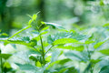 Free A Branch Of Nettle Stock Image - 5414011