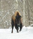 Free Bison Royalty Free Stock Photo - 5414585