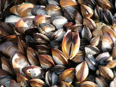 Free Mussels Stock Images - 5410614