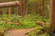 Trail In Old Growth Forest Royalty Free Stock Image