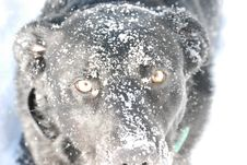Snow Dog Stock Images