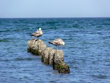 Free Sea Gulls Stock Images - 5411434