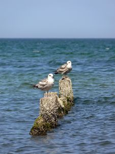 Free Sea Gulls Stock Photo - 5411450
