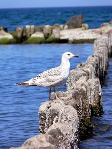 Free Sea Gull Stock Photography - 5411492