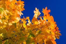 Free Maple Leaves Stock Photography - 5411602