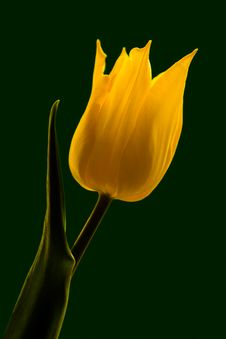 Free Tulip On Green Stock Image - 5411911
