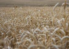 Free Wheat Field Royalty Free Stock Photos - 5412378