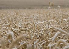 Free Wheat Field Stock Images - 5412384
