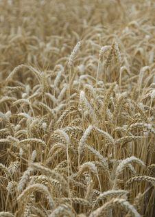 Free Wheat Field Royalty Free Stock Photo - 5412405