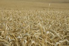 Free Wheat Field Stock Images - 5412454