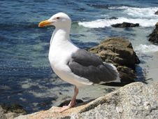 Free Stoic Seagull Stock Images - 5413214