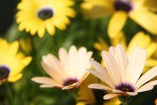 Free Daisy Stock Photography - 5413412