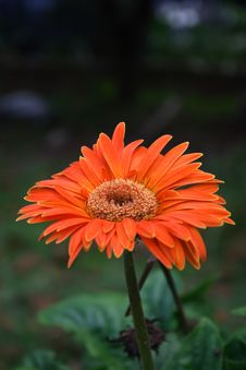 Free Orange Daisy Royalty Free Stock Photo - 5413555