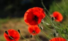 Free Poppy Field Royalty Free Stock Images - 5414269