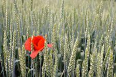 Free Poppy Flower Stock Images - 5414484