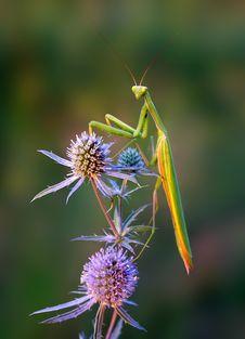 Free Mantis Royalty Free Stock Images - 5414489