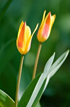 Free Yellow Tulips Stock Images - 5414664