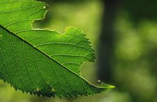 Free Green Leaf Stock Photos - 5414733