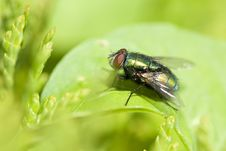 A Green Fly Stock Photography