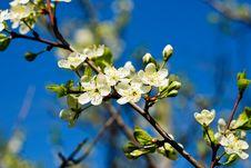 Free White Spring Flower Stock Image - 5415871