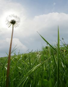 Free Dandelion Stock Photography - 5416422