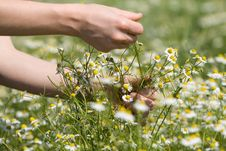 Free Picking Chamomile Royalty Free Stock Photography - 5416857