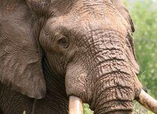 Free African Elephant Stock Image - 5417871
