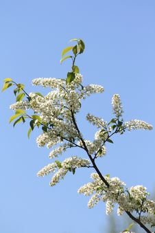 Free Bird Cherry Royalty Free Stock Photos - 5418968