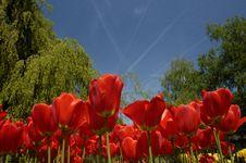 Free Tulip Garden Royalty Free Stock Image - 5419546