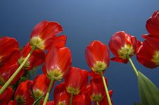 Free Tulips Royalty Free Stock Photography - 5419727