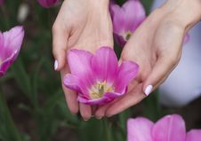 Free Fresh Tulip With Female Hands Around Royalty Free Stock Images - 54127399