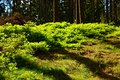 Free Spruce Forest Stock Images - 54147534
