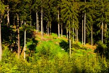 Free Spruce Forest Royalty Free Stock Image - 54147386