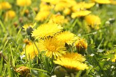 Yellow Dandelions Stock Photos