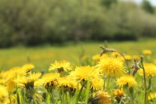 Free Yellow Dandelions Stock Images - 54147944