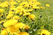 Yellow Beautiful Dandelions Stock Photography