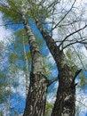 Free The Spring Sky Through Branches Of A Birch Royalty Free Stock Photos - 5423948