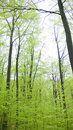 Free Beech Forest Royalty Free Stock Photography - 5428147