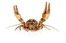 Free Crayfish On White Stock Photography - 5420262