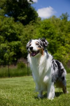 Free Blue Merle Tri-color Australian Shepherd Standing Stock Photography - 5420302