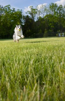 Free Blue Merle Tri-color Australian Shepherd Leaps Stock Photography - 5420392