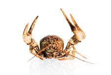 Free Crayfish On White Royalty Free Stock Photography - 5420537