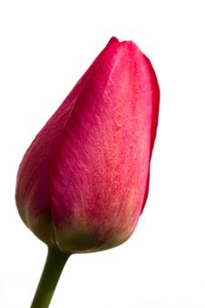 Free Red Tulip Royalty Free Stock Photography - 5421247