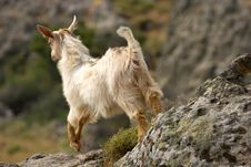 Free Wild Goat Royalty Free Stock Images - 5421359