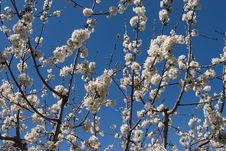 Free Flowering Cherry Stock Photos - 5422183