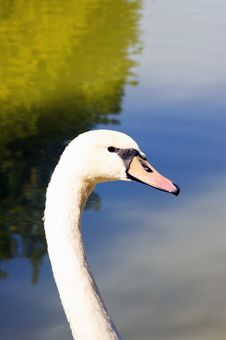 Free Swan Royalty Free Stock Images - 5422249