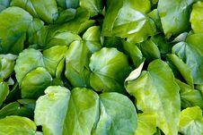 Free Big Leaves Royalty Free Stock Image - 5422596