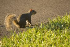 Free Gray Squirrel On The Ground Stock Photography - 5422842