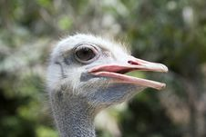 Free Ostrich Stock Photo - 5423140
